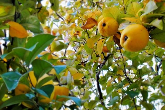 カリンの剪定時期は冬が最適!栽培方法や病害虫対策についてもご紹介