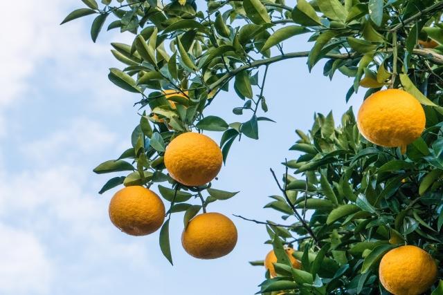 夏みかんを剪定してキレイに果実を付けよう!正しい剪定方法をご紹介