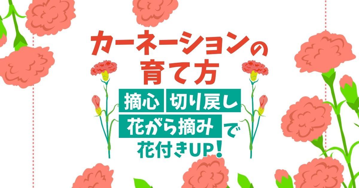 カーネーションの育て方摘心・切り戻し・花がら摘みで花付きUP!