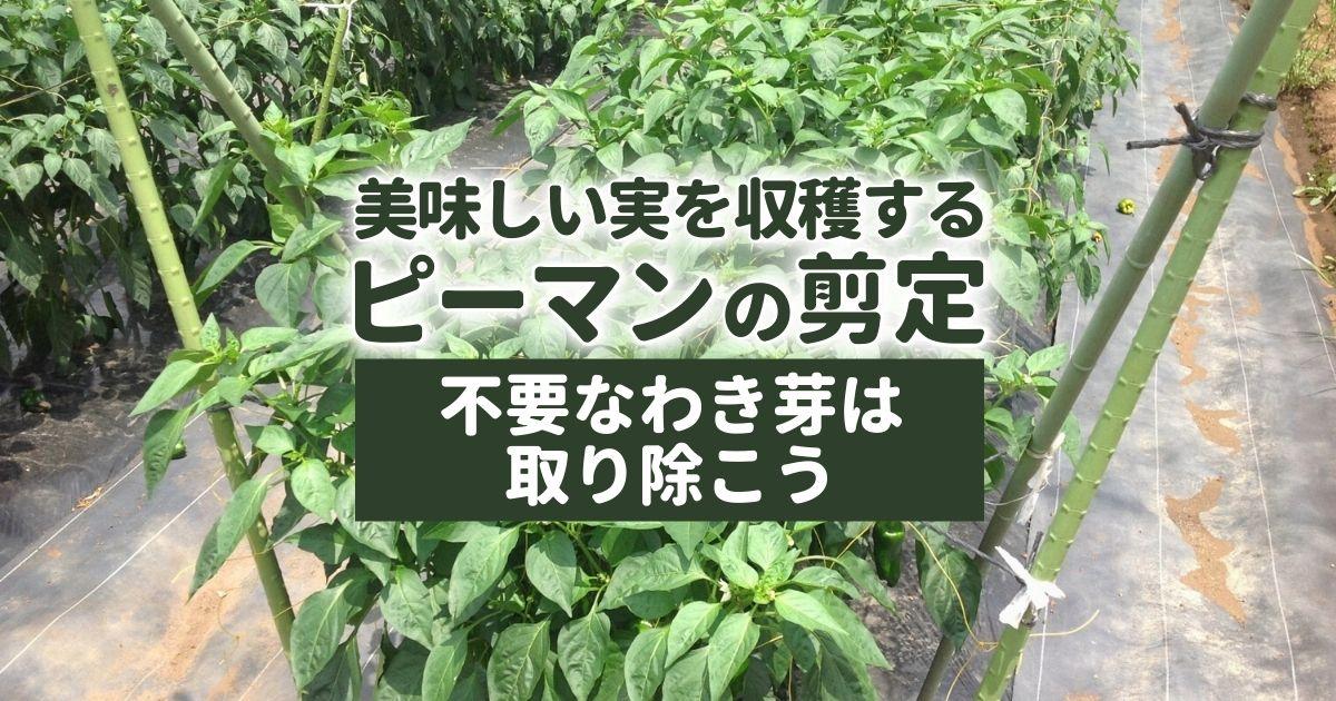 【ピーマンの剪定】整枝でお手入れ|美味しい実を収穫する栽培方法