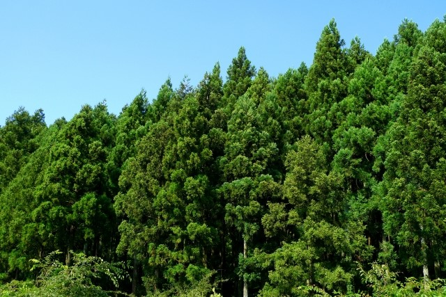 杉は剪定の仕方や時期が重要!庭木の手入れ方法や病害虫の種類を解説