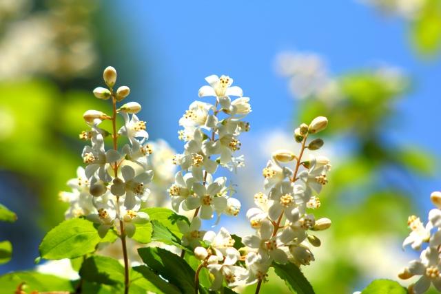 ヒメウツギの剪定|適切な時期や方法を知ってきれいな花を咲かせよう