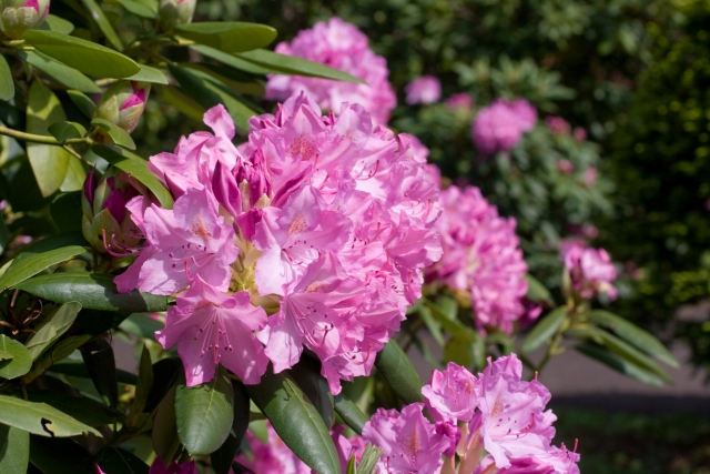 シャクナゲの剪定時期は?花をきれいに咲かせるためにお手入れしよう