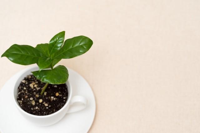 コーヒーの木の剪定方法を解説!健やかに育てて実をならせよう