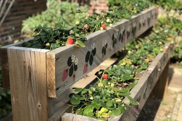 いちごは剪定(脇芽取り)で甘く美味しく育てよう!栽培のコツを解説