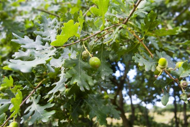 コナラの剪定時期や方法|注意したい庭木の手入れやナラ枯れの対策