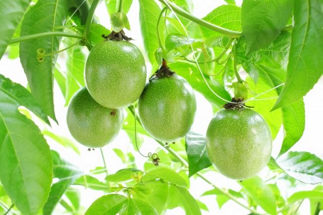 授粉から2~3ヵ月で収穫可能になる!