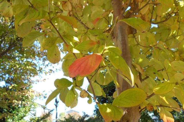 シャラの木は透かし剪定をしよう