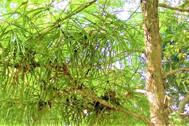 コウヤマキの剪定時期と方法|育てやすいけどデリケートでもある樹木