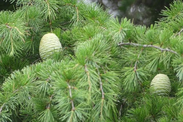 ヒマラヤスギの剪定時期は春と秋!散らし剪定と強剪定の手順を解説