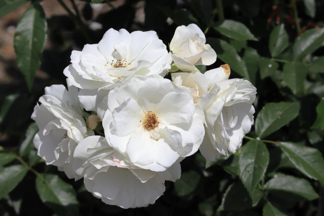 アイスバーグの剪定|ブッシュ形やつる性で異なるバラの剪定方法とは