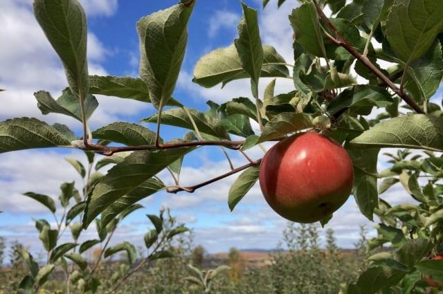リンゴ剪定は時期と枝の見極めが肝心!収穫の成功率を上げる栽培方法