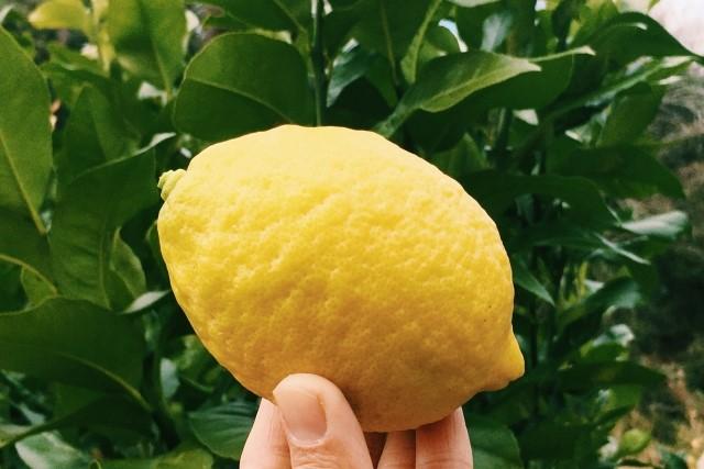 レモンの剪定時期と方法|正しく栽培して美味しい果実を収穫しよう