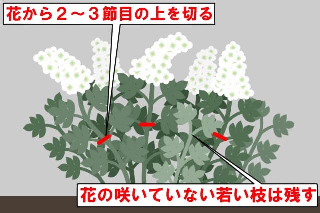 ②カシワバアジサイの樹形を整える剪定