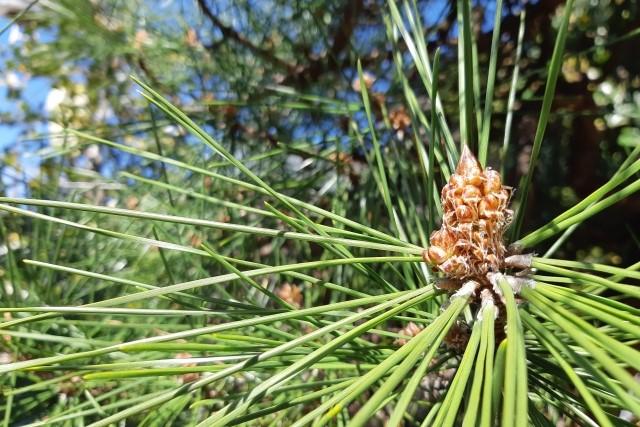 松の剪定は芽摘みが大切!時期や方法を知って樹形をすっきり整えよう