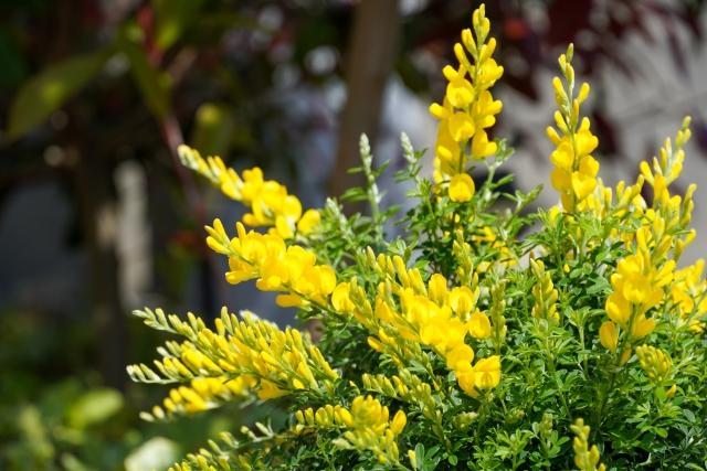 エニシダの剪定!適した時期や正しい方法を知って長く花を観賞しよう