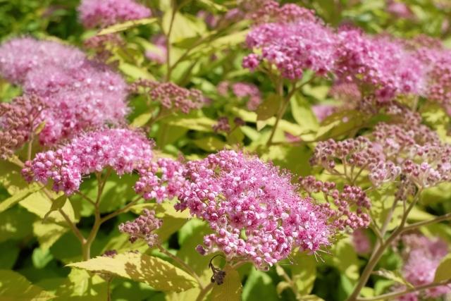 シモツケは剪定で長く花を楽しめる植物!時期や方法を紹介