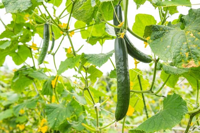家庭菜園でキュウリの剪定ってどうやるの?上手な栽培方法もご紹介