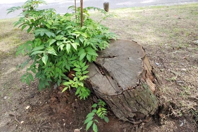 ひこばえの剪定|切り方と樹木に生えてくる理由について解説!