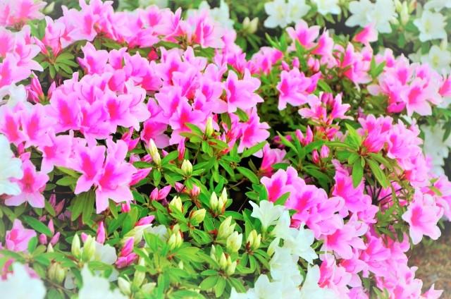 毎年美しいサツキの花を咲かせる育て方のコツ