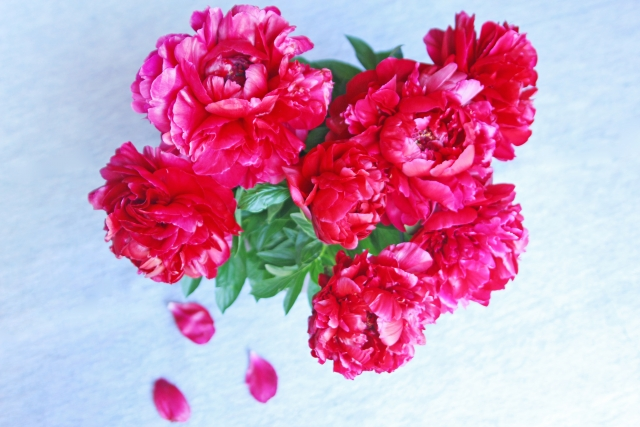 4種類ある芍薬の剪定方法と時期!大輪の花をつけるための手入れ方法