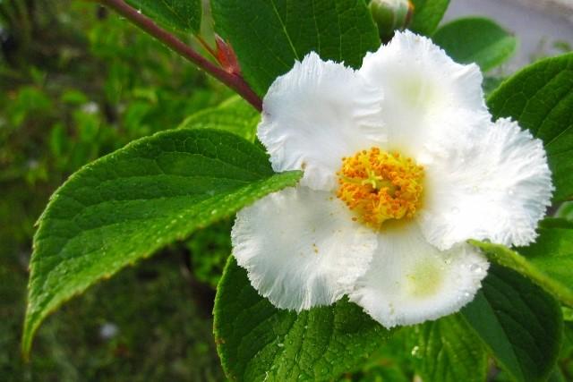 シャラの木の剪定時期と方法を解説!特徴を知って美しい庭木にしよう