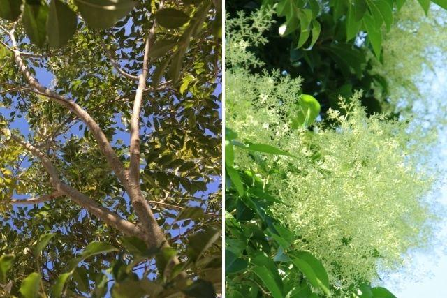 庭木のシマトネリコは剪定が必須