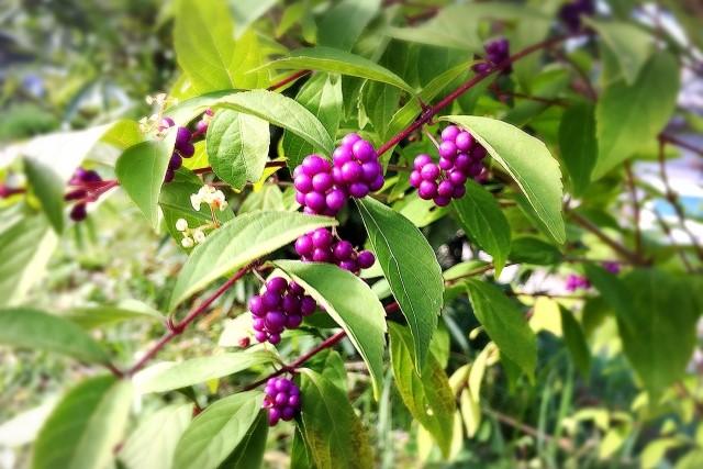 紫式部の剪定は冬に長い枝を間引くのがポイント!育て方のコツも解説