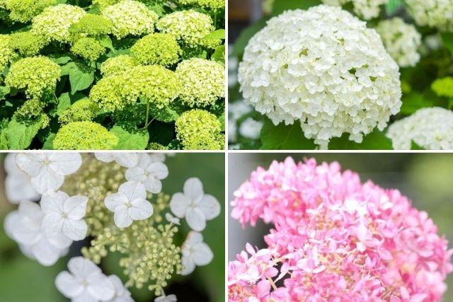 アナベルは花色の変化が美しいアジサイ