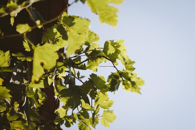 短梢剪定は芽の数を減らして短く切る方法