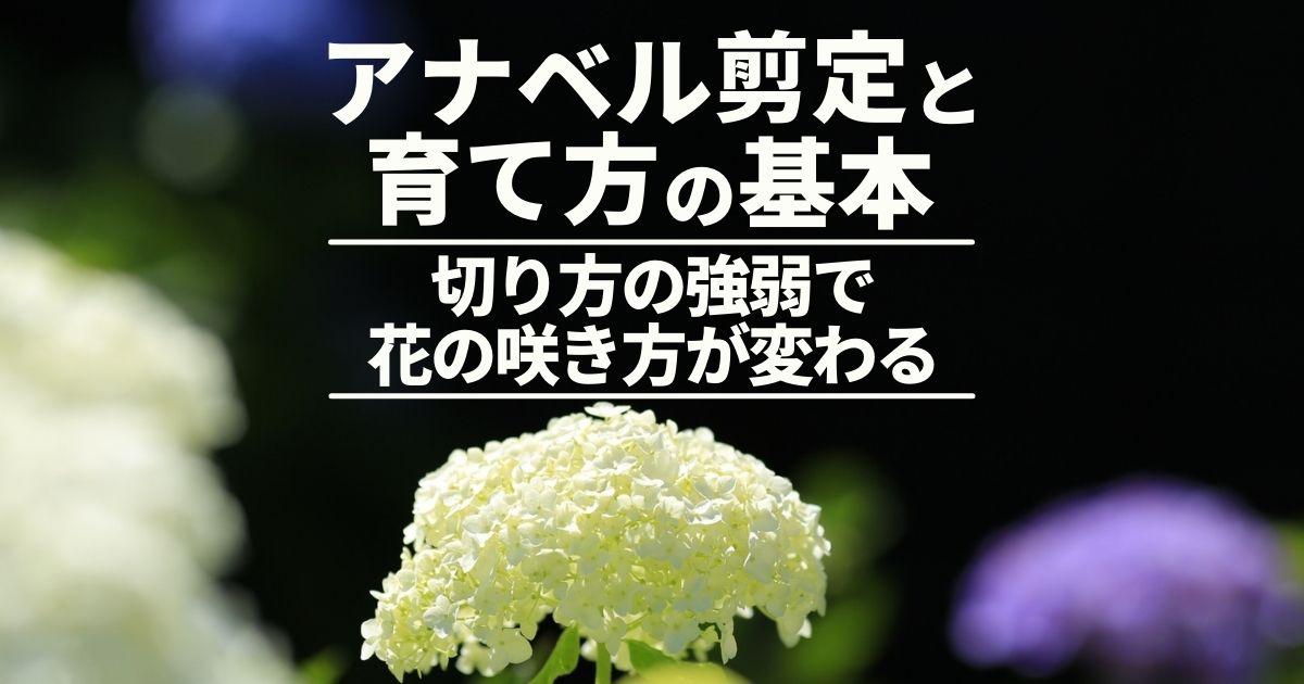 アナベル剪定と育て方の基本切り方の強弱で花の咲き方が変わる