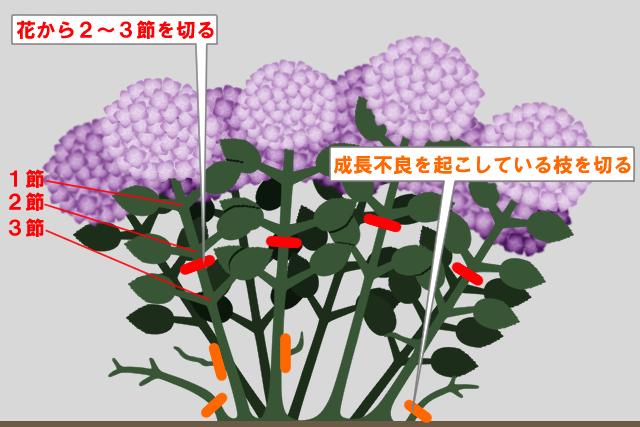 紫陽花 剪定 目安