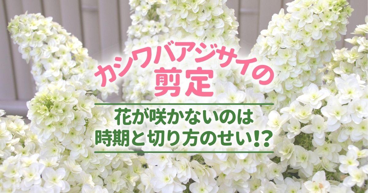 カシワバアジサイの剪定花が咲かないのは時期と切り方のせい!?