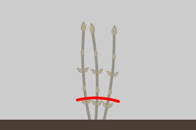 ①カシワバアジサイの樹形をこんもりさせる剪定