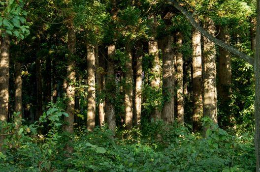 杉伐採前のポイント3つと伐採法・後処理!花粉知識も