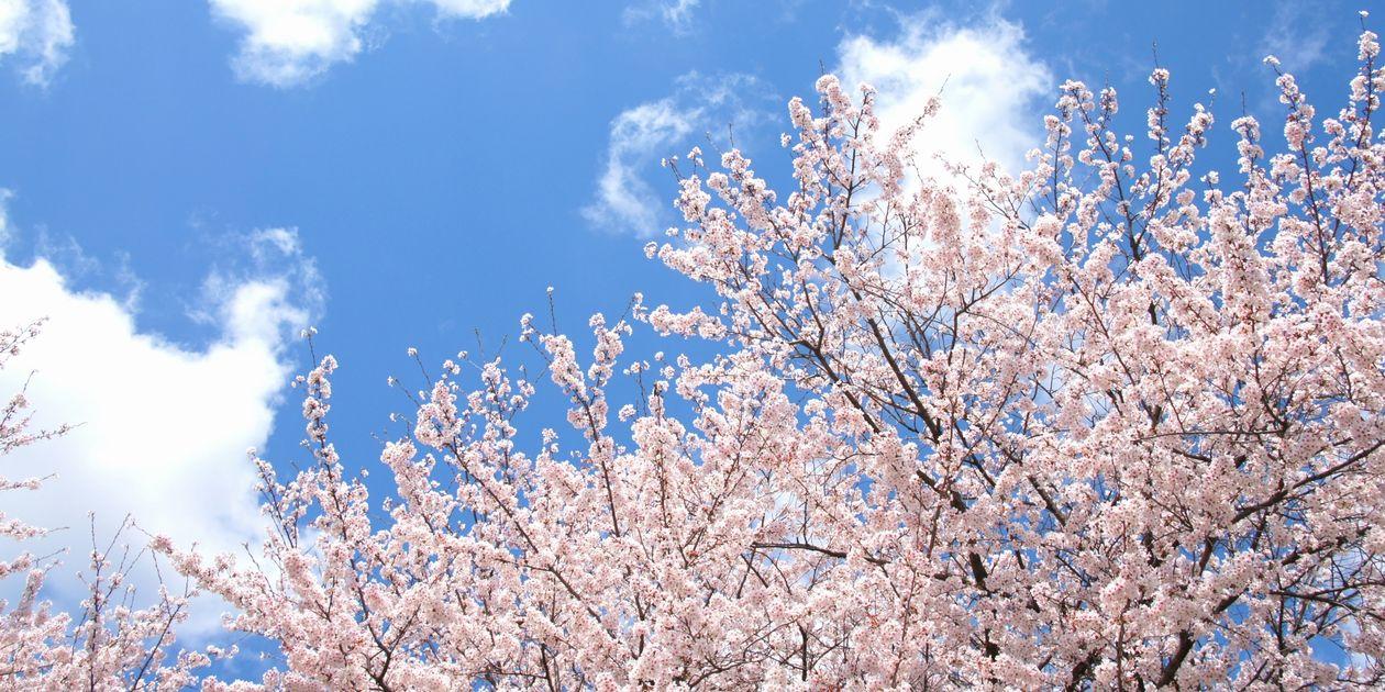 桜剪定の時期や方法を確認!病害虫も気を付けましょう