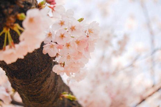 桜の伐採方法決定版!お祓いや業者選びの方法もご紹介
