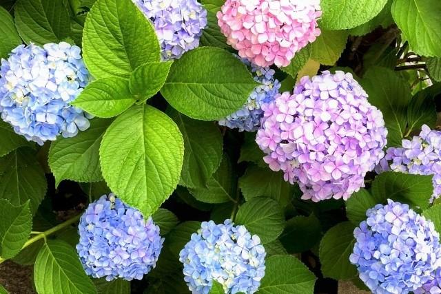 きれいに咲いたアジサイ