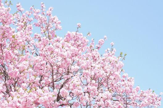 桜の木を切ると祟りが…?その根拠は何?