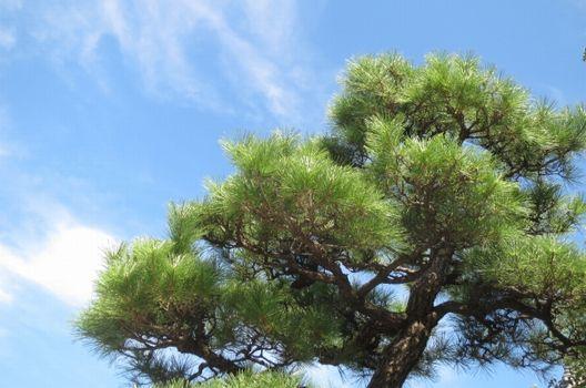 松の剪定は難易度が高い!剪定で松が枯れることも…そのワケとは?