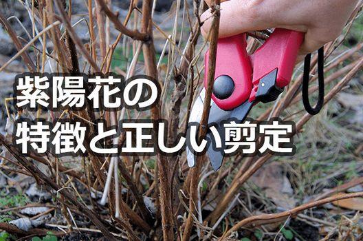 剪定をする前に!紫陽花の特徴をおさらい