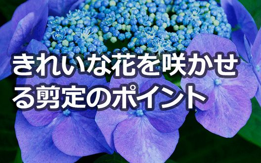 紫陽花剪定の基本と花を咲かせるための剪定方法