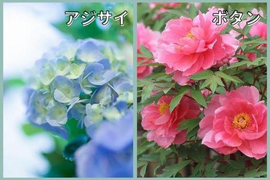 秋・冬に花芽ができる木:アジサイ、ボタンなど