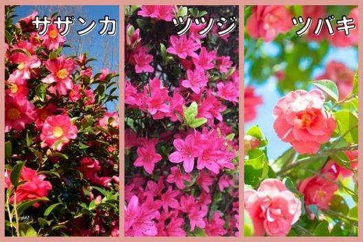 初夏に花芽ができる木:サザンカ、ツツジ、ツバキなど