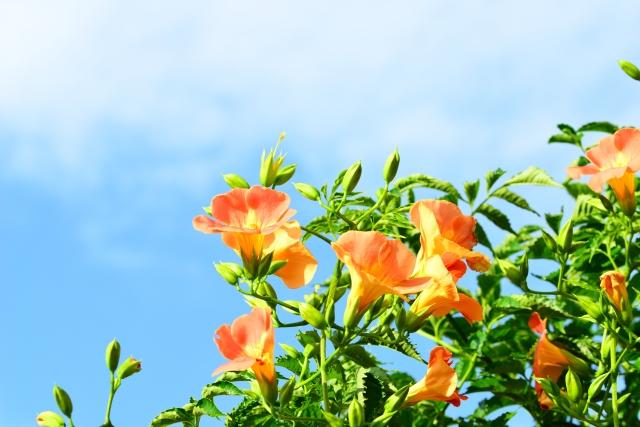 満開!ノウゼンカズラの剪定方法│夏中ずっと花が咲き続ける育て方