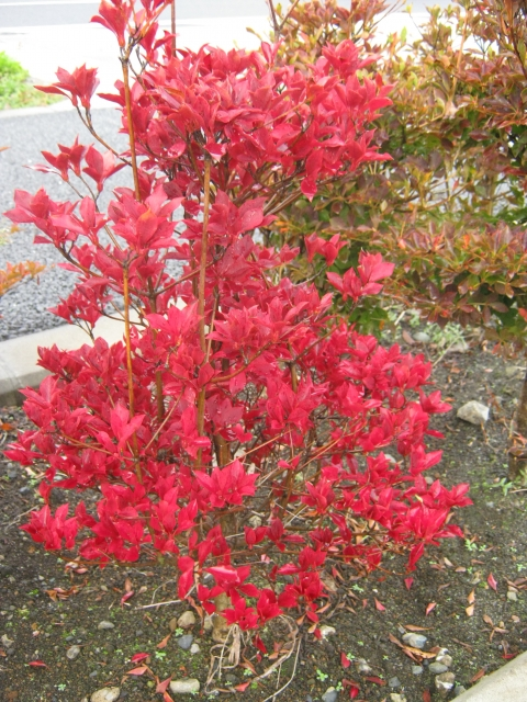 秋には紅葉も楽しめるドウダンツツジ