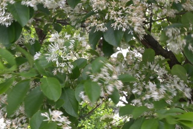 アオダモの葉