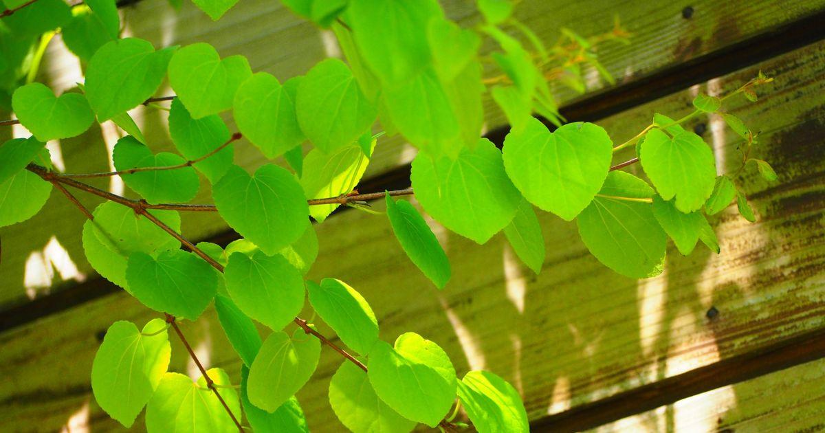 カツラはシンボルツリーにおすすめ|特徴的な葉の魅力とお手入れ方法