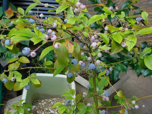 ブルーベリー栽培の魅力4つ