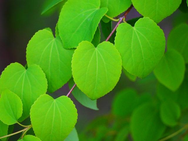 特徴的な葉が持つ魅力